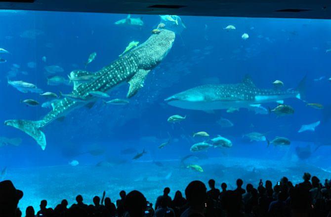 [ 2019沖繩 ] 沖繩美麗海水族館,海洋博公園,沖繩北部必遊景點,海景遼闊讓人忘憂,必看鯨鯊鎮館之寶~